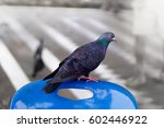 Pigeon Looking At Human By...