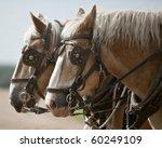 team of belgian heavy horses in ...