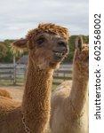 alpaca smiles | Shutterstock . vector #602568002
