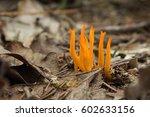 Yellow Antler Fungus   Calocer...