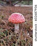 Small photo of amanita muscaria mushroom