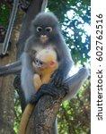 Dusky Langur  Two Monkeys  Mom...