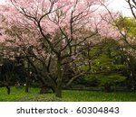pink cherry blossoms in the spring on the grounds of Tokyo Imperial Palace. - stock photo
