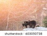 brown bears  ursus arctos  in... | Shutterstock . vector #603050738