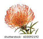 red  pincushion  protea flower... | Shutterstock . vector #603092192