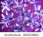purple snowdrops on a purple... | Shutterstock . vector #603214862