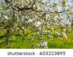 a blooming apple trees in spring | Shutterstock . vector #603223895