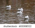 Four Seagulls Are Swimming