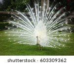 White Peacock Opens Its Tail I...