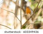 """erithacus rubecula """"pisco ruivo""""...   Shutterstock . vector #603349436"""
