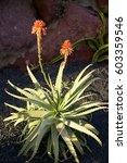 Small photo of Blooming Aloe Vera (Aloe barbadensis), medicinal plants