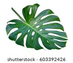 Monstera Leaf And Stem  Trendy...