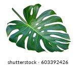 Monstera Leaf And Stem  Trendy...