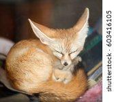 Sleeping Fennec Fox  Vulpes...
