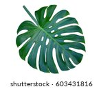 monstera large leaf  isolated... | Shutterstock . vector #603431816