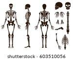 human bones skeleton structure... | Shutterstock .eps vector #603510056