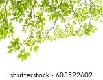 green leaves isolated on white... | Shutterstock . vector #603522602