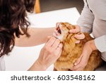 veterinarian checks teeth to a... | Shutterstock . vector #603548162