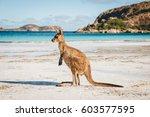 kangaroo at lucky bay in the...   Shutterstock . vector #603577595