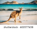Kangaroo At Lucky Bay In The...