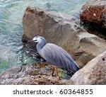 eastern reef egret hunting for... | Shutterstock . vector #60364855