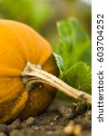 close up of pumpkin growing on... | Shutterstock . vector #603704252