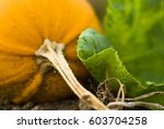 close up of pumpkin growing on... | Shutterstock . vector #603704258
