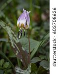 Small photo of Erythronium dens-canis alias dogtooth violet