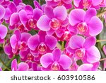 The Group Of Pink Orchid....