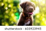 Stock photo brown cute smile labrador retriever puppy with spring foliage bokeh and sunset light abstract head 603923945