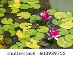 Water Lily And Frog In The Pond