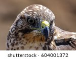 portrait of a galapagos hawk ... | Shutterstock . vector #604001372