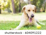 beautiful labrador retriever... | Shutterstock . vector #604091222