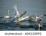 Swans At Lake Geneva Switzerland