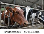 Close Up Of Two Cows In A Free...