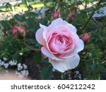 Stock photo gorgeous vibrant colorful roses garden 604212242