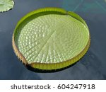 Queen Victoria Lily Pad Isolated