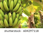 Banana Tree With Bunch Of...