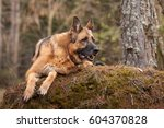 Elderly German Shepherd Dog...