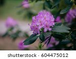 Beautiful Purple Rhododendron...