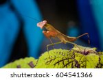 Small Mantis Sitting On The...