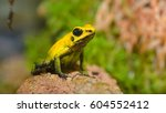 golden poison arrow frog ...   Shutterstock . vector #604552412