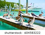big brown pelicans in port of... | Shutterstock . vector #604583222