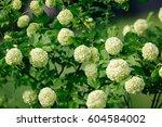 Decorative Bush Viburnum With...