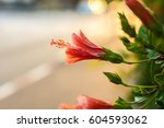 red hibiscus flower | Shutterstock . vector #604593062