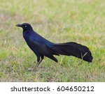 Male Great Tailed Grackle ...
