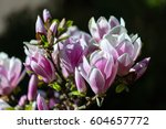 the pink magnolia flowers on a... | Shutterstock . vector #604657772