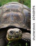 Portrait Galapagos Turtles...