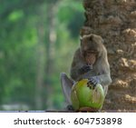 A Monkey Eating A Coconut.