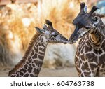 two giraffes at los angeles zoo ... | Shutterstock . vector #604763738